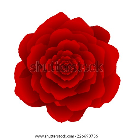 red rose flower isolated on