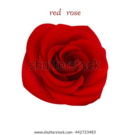 red rose isolated flower on a