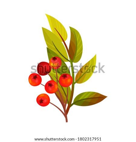 red rowan berries hanging on