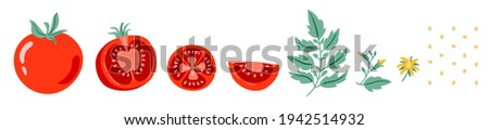 Red tomato vector illustration. Cut tomato, tomato slice, leaves, flowers and tomato seeds. Cartoon vegetable set of elements isolated on white background.
