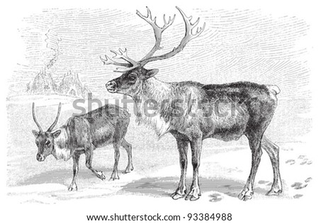 Reindeer (Rangifer tarandus) / vintage illustration from Meyers Konversations-Lexikon 1897