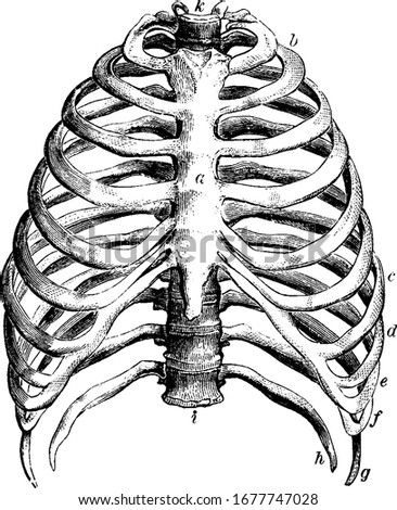 Represents the thorax, with the parts labelled: a, the sternum; b to c, the true ribs; d to h, the false ribs; g, h, the floating ribs; and other, vintage line drawing or engraving illustration.