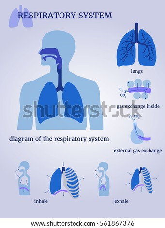 Shutterstock puzzlepix respiratory system diagram of the respiratory system with lungs inside gas exchange external gas exchange inhale and exhale on a white background ccuart Gallery