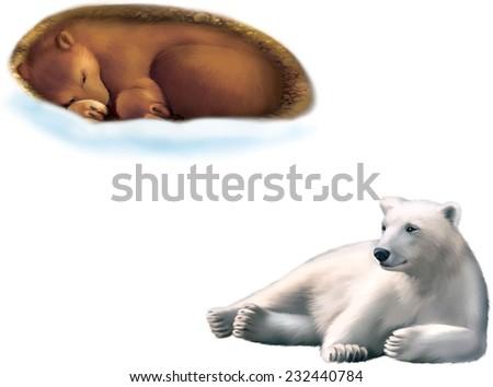 resting polar bear  bear