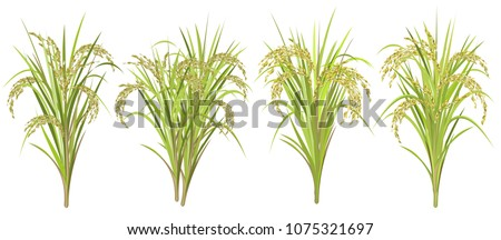 Rice (Oryza sativa, Asian rice). Set of realistic vector illustrations of rice panicles isolated on white background.