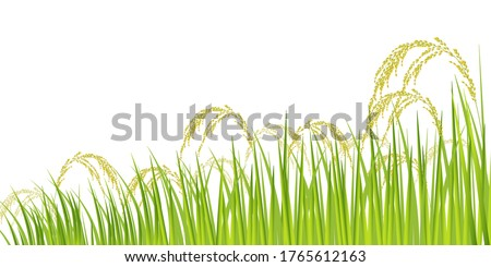 rice rice plant agriculture
