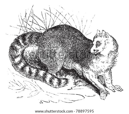 Ring-tailed lemur, Lemur catta,  Maki mococo, Odorlemur, Prosimia or Procebus, vintage engraving. Old engraved illustration of Ring-tailed lemur in the meadow. Trousset encyclopedia (1886 - 1891)