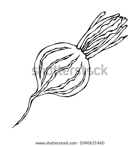 Ripe Beet - Half of Beetroot, Cut Beet Slices. Fresh Vegetable Salad. Hand Drawn Vector Illustration. Savoyar Doodle Style.