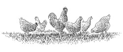 Rooster and hens on grass illustration. Vector.