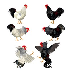Rooster set. Cocks fighting. Vector illustration isolated on white background