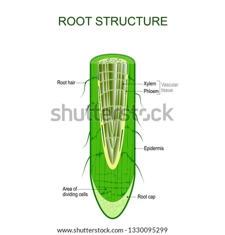 Root structure. Plant anatomy. The cross-section of the root with area of dividing cells, Xylem, Phloem, cap, epidermis, and hairs. Vector illustration for biological, science,  and educational use.