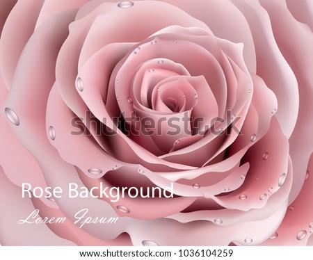 rose flower close up vector