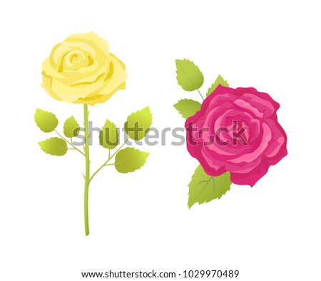 rose flower in pink and yellow