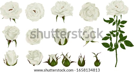 rose flower set of blooming