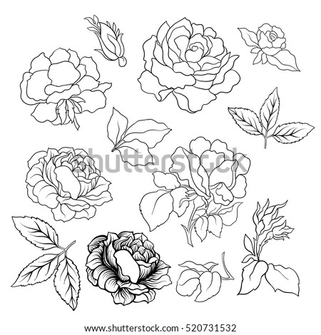 rose flower set vector