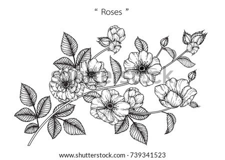 Rose flowers drawing with line-art on white backgrounds. #739341523