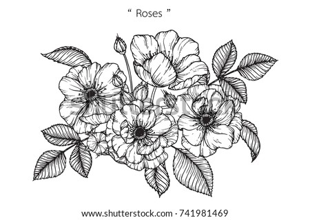 Rose flowers drawing with line art on white backgrounds