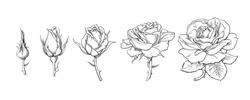 Rose flowers set. Stages of rose blooming from closed bud to fully open flower. Hand drawn sketch style vector illustration isolated on white background. Design elements for wedding decoration, tattoo