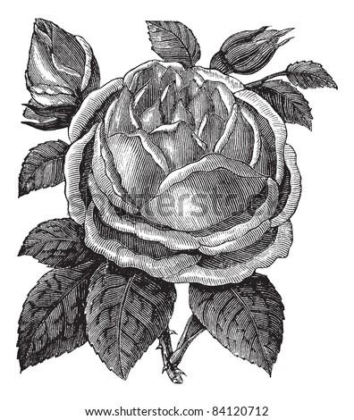 Rose Hazelnut or Rosa noisettiana or Blush Noisette, vintage engraving. Old engraved illustration of Rose Hazelnut isolated on a white background. Trousset encyclopedia (1886 - 1891).