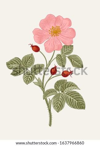 Rose hip. Wild rose. Botanical floral vector illustration.