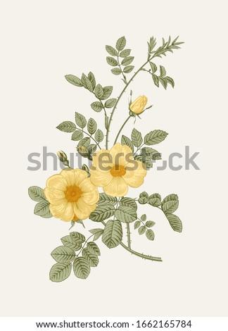 Rose hip. Wild yellow rose. Botanical floral vector illustration.