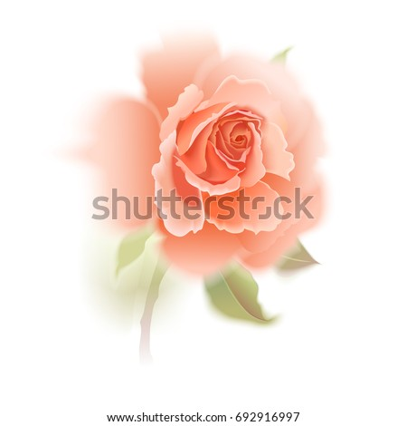 rose isolated garden pink