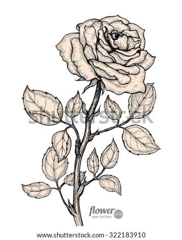 rose vector hand drawn