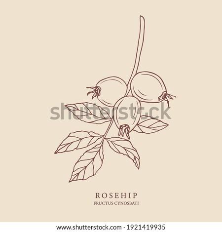 Rosehip hand drawn illustration. Botanical design for organic cosmetics, medicine Stock photo ©