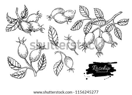 Rosehip vector drawing. Isolated berry branch sketch on white background.  Summer fruit engraved style illustration. Detailed hand drawn vegetarian food. Great for label, poster, print Stock photo ©