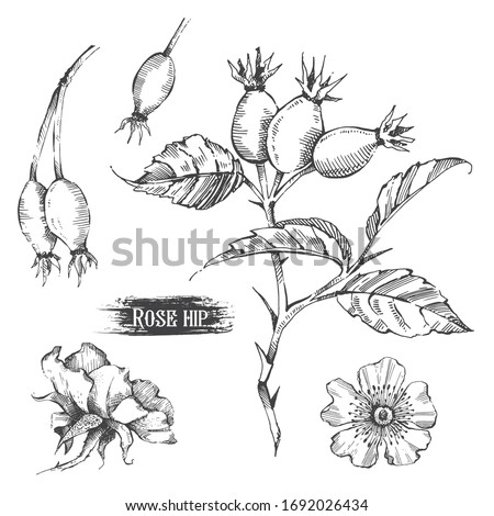 Rosehip with fruits, leaves and flowers. Ink hand draw sketch. Stock photo ©