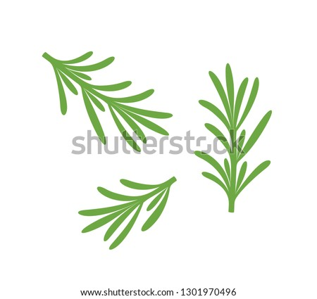 Rosemary branch. Isolated rosemary on white background. Set