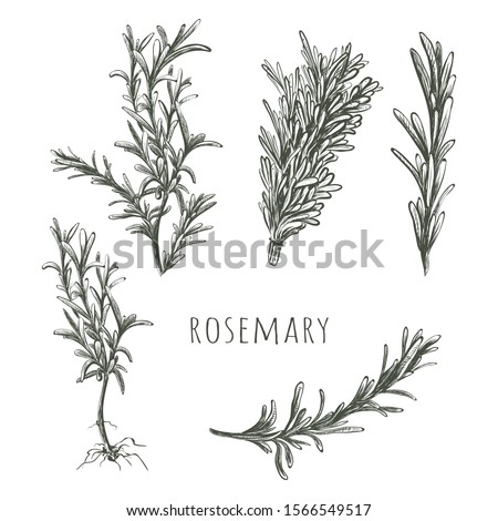 Rosemary hand drawing. Herbs and Spices Collection Rosemary sketch vector illustration. Rosemary set