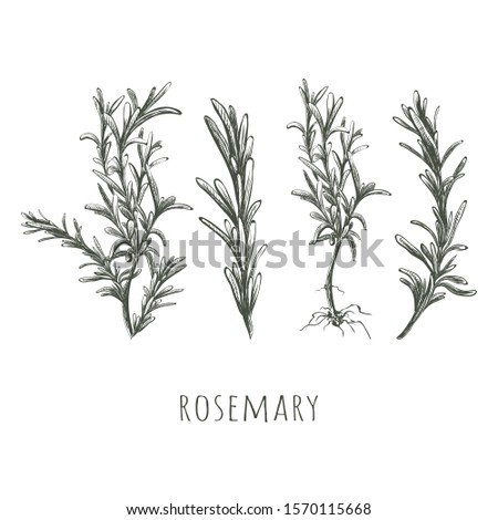 Rosemary hand drawing. Rosemary sketch set vector illustration. Rosemary herbs and spices collection