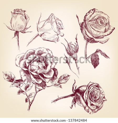 roses hand drawn vector llustration realistic sketch set - stock vector