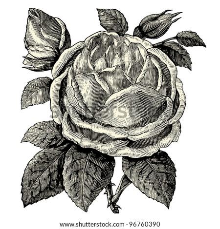 roses   vintage engraved