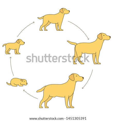 Round stages of dog growth set. From puppy to adult dog development. Animal mammals pets. Labrador retriever grow up circle animation progression. Pet life cycle.