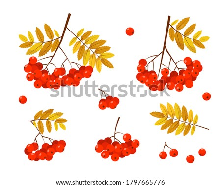 rowan banches with red berries