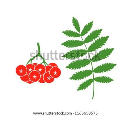 rowan berries isolated rowan