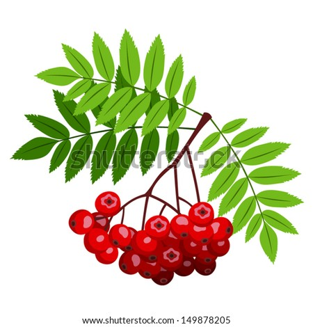 rowan branch with berries and
