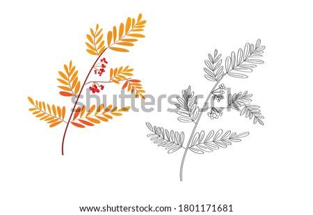 rowan twig autumn foliage
