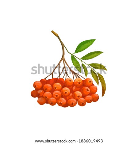 rowanberry fruits or rowan