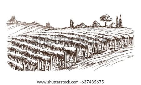 rows of vineyard grape plants