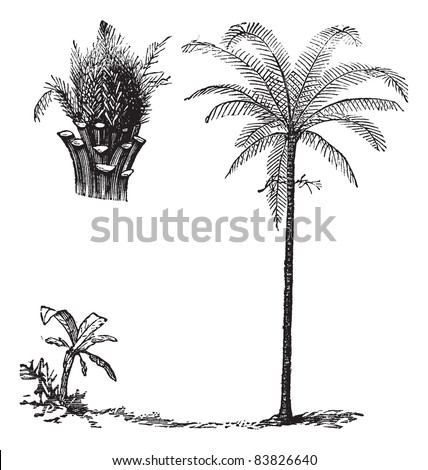 Royal Palm or Roystonea regia, vintage engraved illustration, showing seedling development. Trousset encyclopedia (1886 - 1891).