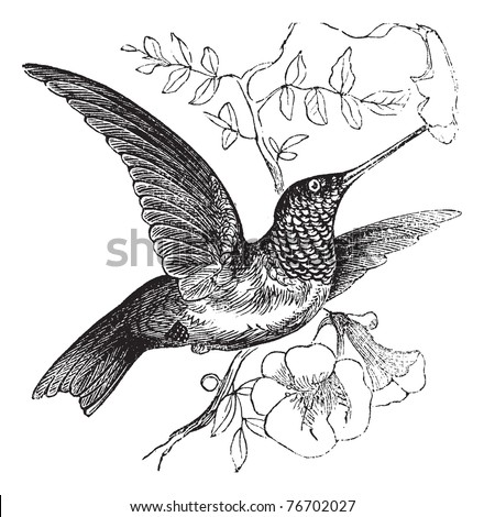 ruby throated hummingbird or