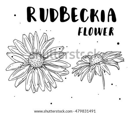 rudbeckia flower botanical