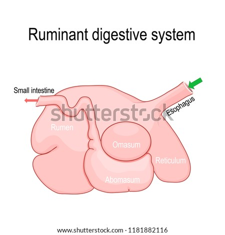 ruminant digestive system. Ruminants' stomach have four compartments: rumen — primary site of microbial fermentation, reticulum, omasum, and abomasum — true stomach. Vector diagram
