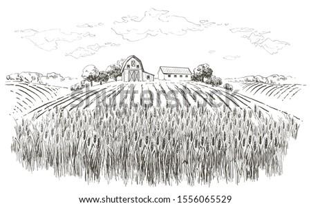 rural landscape field wheat