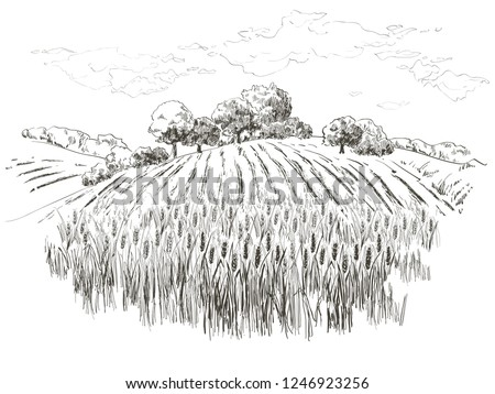 rural landscape field wheat