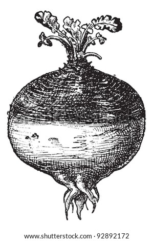 Rutabaga or Swede (Swedish turnip) or turnip or yellow turnip (Brassica napobrassica), vintage engraved illustration. Dictionary of words and things - Larive and Fleury - 1895.