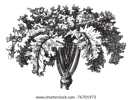 Rutabaga or Swedish Turnip or Yellow Turnip or Brassica napobrassica, vintage engraving. Old engraved illustration of a Rutabaga. Trousset Encyclopedia